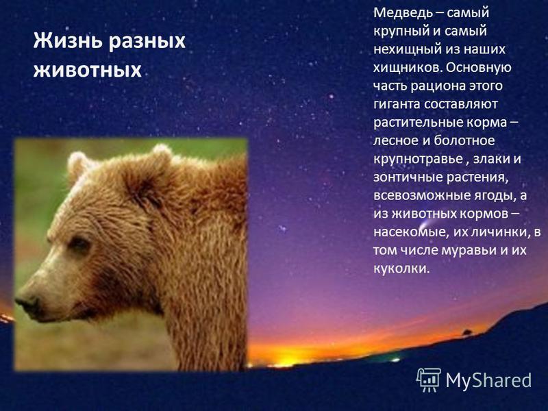 Жизнь разных животных Медведь – самый крупный и самый нехищный из наших хищников. Основную часть рациона этого гиганта составляют растительные корма – лесное и болотное крупнотравье, злаки и зонтичные растения, всевозможные ягоды, а из животных кормо