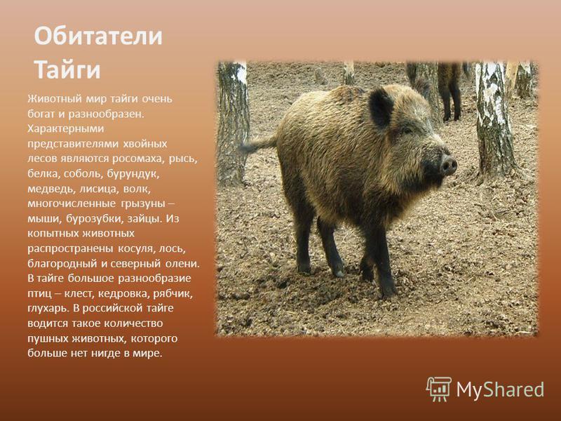 Обитатели Тайги Животный мир тайги очень богат и разнообразен. Характерными представителями хвойных лесов являются росомаха, рысь, белка, соболь, бурундук, медведь, лисица, волк, многочисленные грызуны – мыши, бурозубки, зайцы. Из копытных животных р