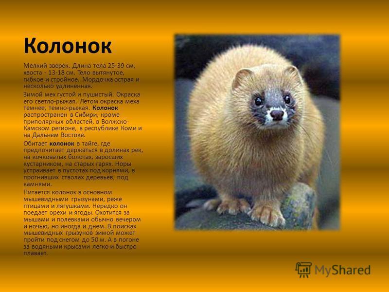 Колонок Мелкий зверек. Длина тела 25-39 см, хвоста - 13-18 см. Тело вытянутое, гибкое и стройное. Мордочка острая и несколько удлиненная. Зимой мех густой и пушистый. Окраска его светло-рыжая. Летом окраска меха темнее, темно-рыжая. Колонок распростр