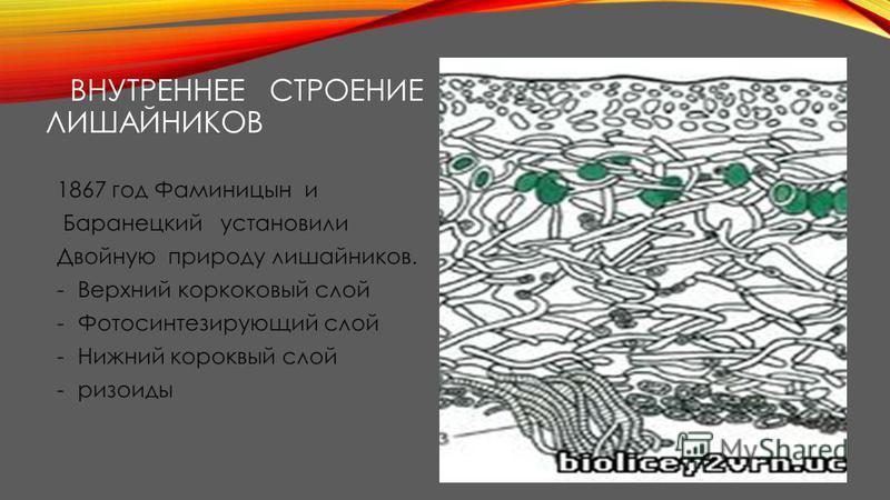 ВНУТРЕННЕЕ СТРОЕНИЕ ЛИШАЙНИКОВ 1867 год Фаминицын и Баранецкий установили Двойную природу лишайников. -Верхний корковый слой -Фотосинтезирующий слой -Нижний корковый слой -ризоиды
