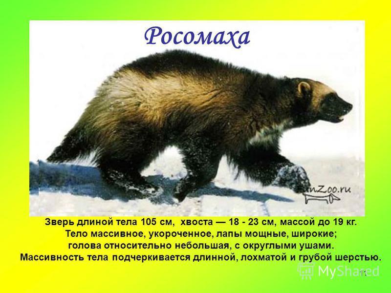 11 Росомаха Зверь длиной тела 105 см, хвоста 18 - 23 см, массой до 19 кг. Тело массивное, укороченное, лапы мощные, широкие; голова относительно небольшая, с округлыми ушами. Массивность тела подчеркивается длинной, лохматой и грубой шерстью.