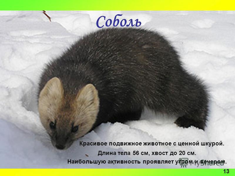 12 Соболь Красивое подвижное животное с ценной шкурой. Длина тела 56 см, хвост до 20 см. Наибольшую активность проявляет утром и вечером. 13