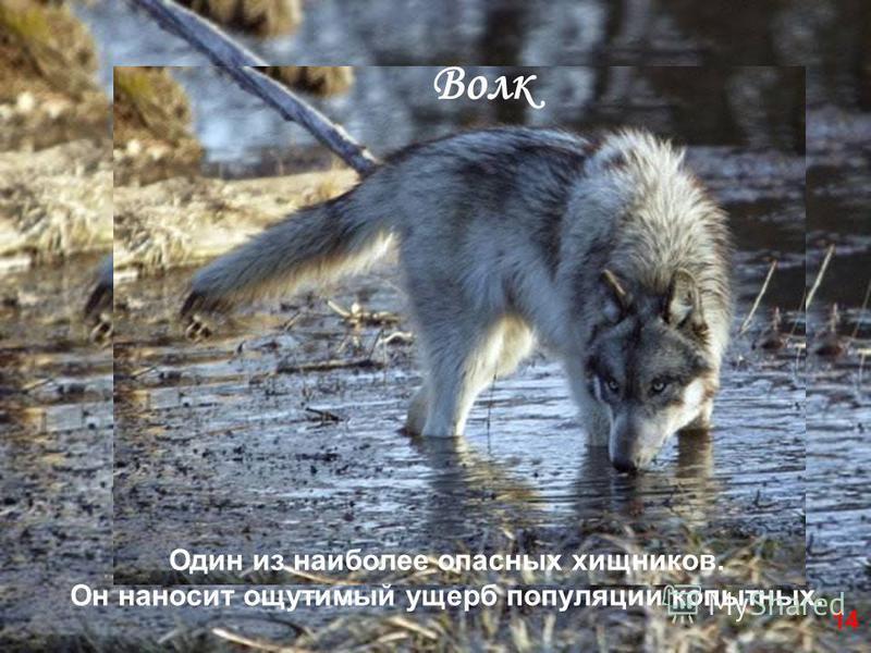 Один из наиболее опасных хищников. Он наносит ощутимый ущерб популяции копытных. Волк 14