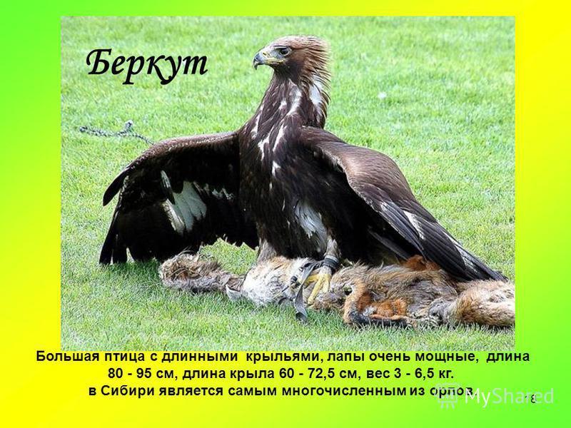 18 Большая птица с длинными крыльями, лапы очень мощные, длина 80 - 95 см, длина крыла 60 - 72,5 см, вес 3 - 6,5 кг. в Сибири является самым многочисленным из орлов. Беркут