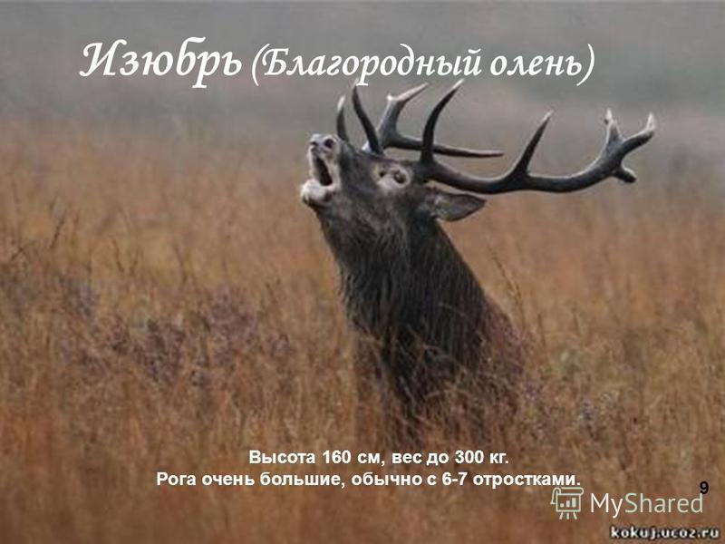 8 Изюбрь (Благородный олень) Высота 160 см, вес до 300 кг. Рога очень большие, обычно с 6-7 отростками. 9