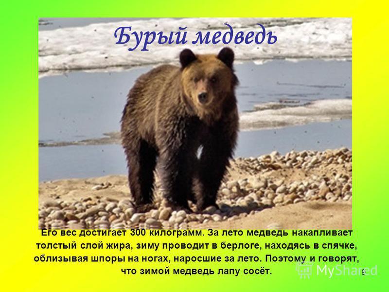 9 Бурый медведь Его вес достигает 300 килограмм. За лето медведь накапливает толстый слой жира, зиму проводит в берлоге, находясь в спячке, облизывая шпоры на ногах, наросшие за лето. Поэтому и говорят, что зимой медведь лапу сосёт.