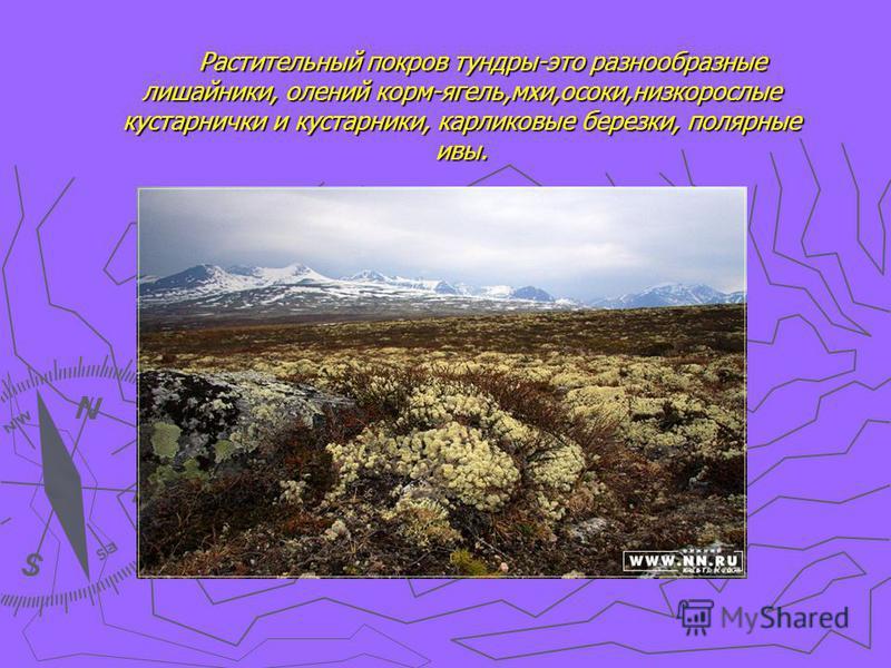 Растительный покров тундры-это разнообразные лишайники, олений корм-ягель,мхи,осоки,низкорослые кустарнички и кустарники, карликовые березки, полярные ивы.