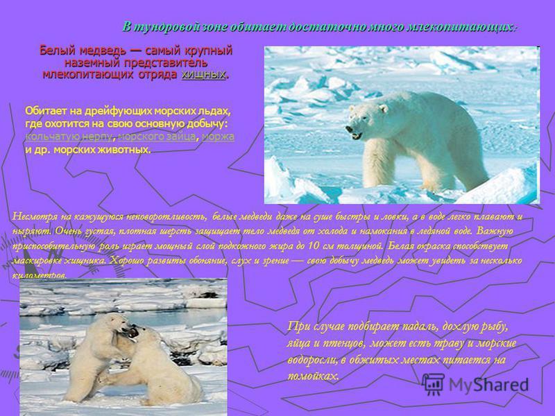 В тундровой зоне обитает достаточно много млекопитающих : Белый медведь самый крупный наземный представитель млекопитающих отряда хищных. хищных Несмотря на кажущуюся неповоротливость, белые медведи даже на суше быстры и ловки, а в воде легко плавают
