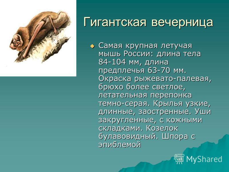 Гигантская вечерница Гигантская вечерница Самая крупная летучая мышь России: длина тела 84-104 мм, длина предплечья 63-70 мм. Окраска рыжевато-палевая, брюхо более светлое, летательная перепонка темно-серая. Крылья узкие, длинные, заостренные. Уши за