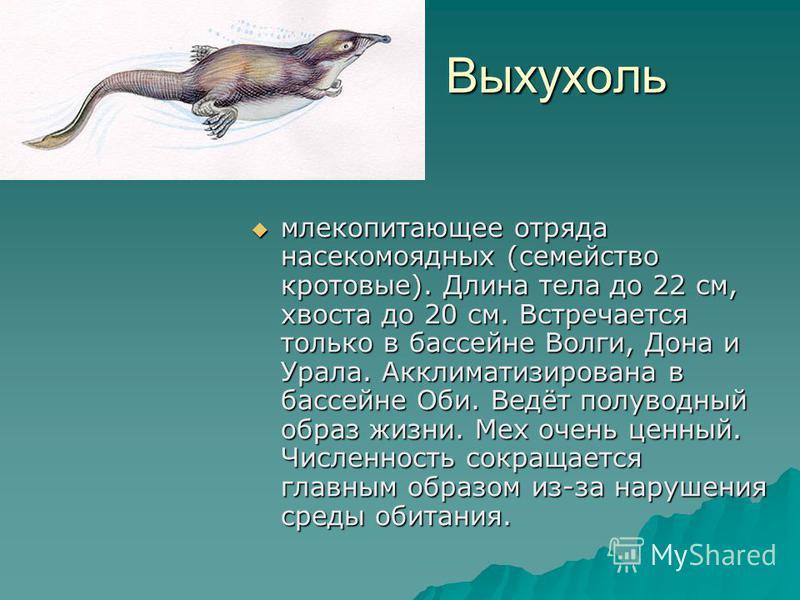 Выхухоль Выхухоль млекопитающее отряда насекомоядных (семейство кротовые). Длина тела до 22 см, хвоста до 20 см. Встречается только в бассейне Волги, Дона и Урала. Акклиматизирована в бассейне Оби. Ведёт полуводный образ жизни. Мех очень ценный. Числ