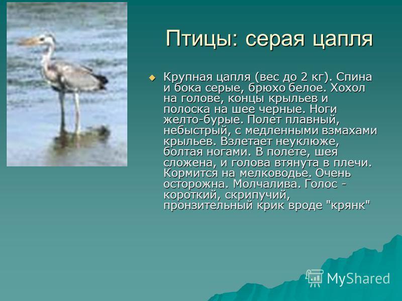 Птицы: серая цапля Птицы: серая цапля Крупная цапля (вес до 2 кг). Спина и бока серые, брюхо белое. Хохол на голове, концы крыльев и полоска на шее черные. Ноги желто-бурые. Полет плавный, небыстрый, с медленными взмахами крыльев. Взлетает неуклюже,