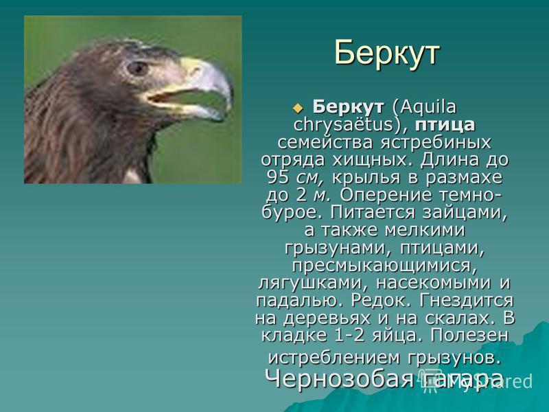 Беркут Беркут Беркут (Aquila chrysaëtus), птица семейства ястребиных отряда хищных. Длина до 95 см, крылья в размахе до 2 м. Оперение темно- бурое. Питается зайцами, а также мелкими грызунами, птицами, пресмыкающимися, лягушками, насекомыми и падалью