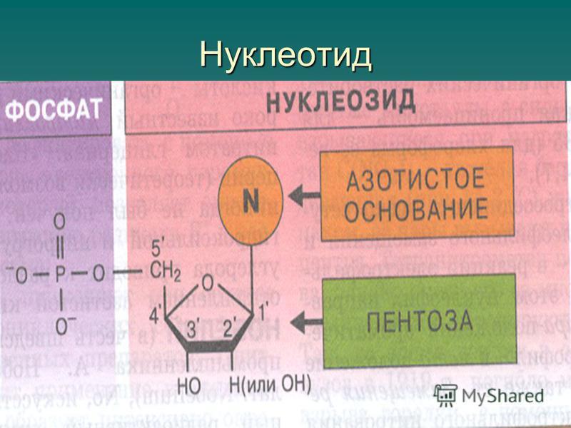 Нуклеотид