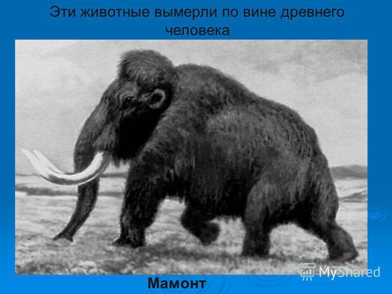 Мамонт Эти животные вымерли по вине древнего человека