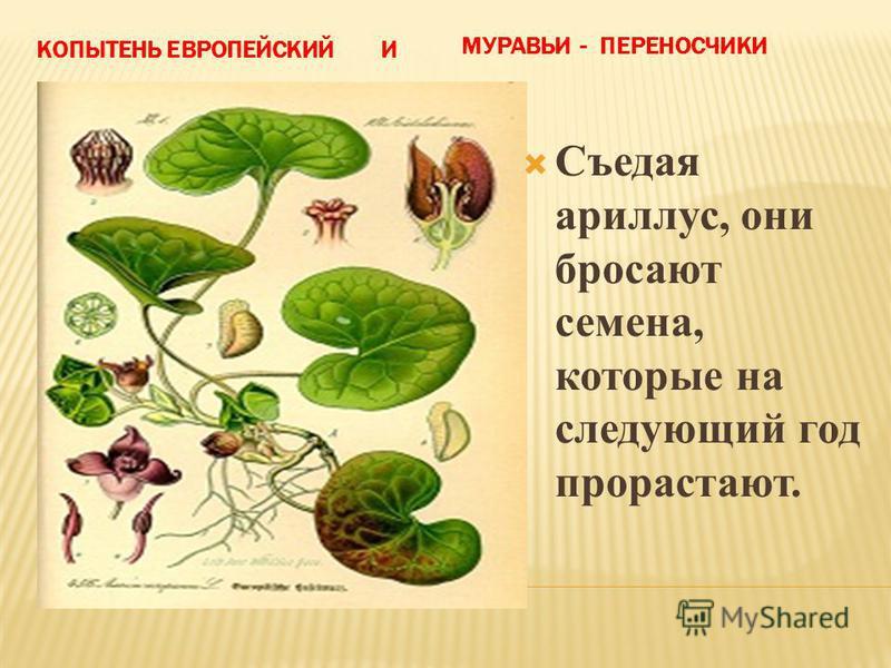 КОПЫТЕНЬ ЕВРОПЕЙСКИЙ И МУРАВЬИ - ПЕРЕНОСЧИКИ Съедая ариллус, они бросают семена, которые на следующий год прорастают.