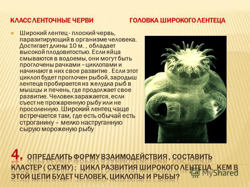 КЛАСС ЛЕНТОЧНЫЕ ЧЕРВИГОЛОВКА ШИРОКОГО ЛЕНТЕЦА Широкий лентец - плоский червь, паразитирующий в организме человека. Достигает длины 10 м., обладает высокой плодовитостью. Если яйца смываются в водоемы, они могут быть проглочены рачками –циклопами и на