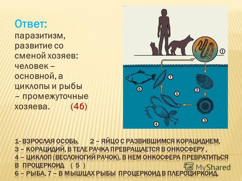 Ответ: паразитизм, развитие со сменой хозяев: человек – основной, а циклопы и рыбы – промежуточные хозяева. (4 б)