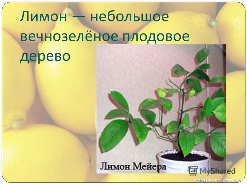 Лимон небольшое вечнозелёное плодовое дерево
