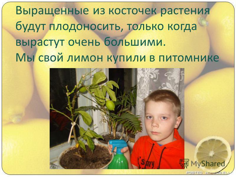 Выращенные из косточек растения будут плодоносить, только когда вырастут очень большими. Мы свой лимон купили в питомнике