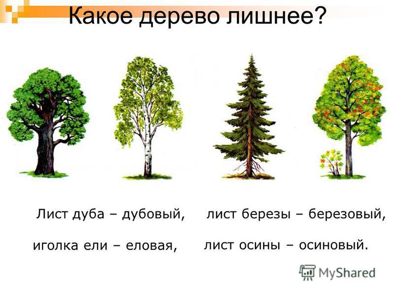 Какое дерево лишнее? Лист дуба – дубовый,лист березы – березовый, иголка ели – еловая, лист осины – осиновый.