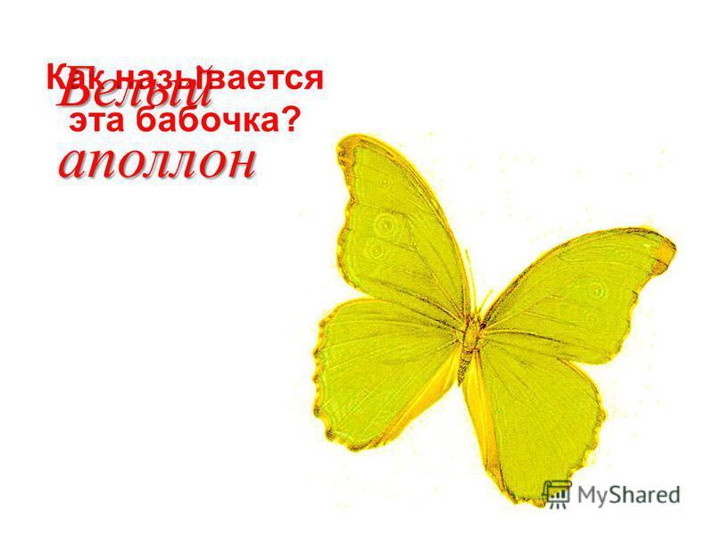 Как называется эта бабочка? Белый аполлон
