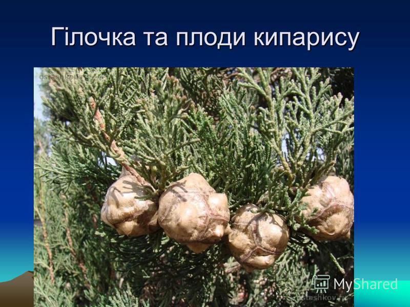 Гілочка та плоди кипарису