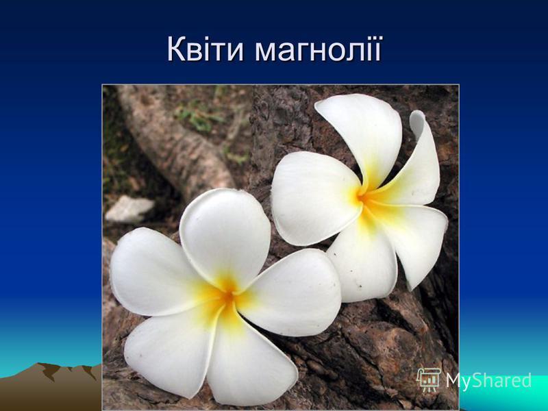 Квіти магнолії