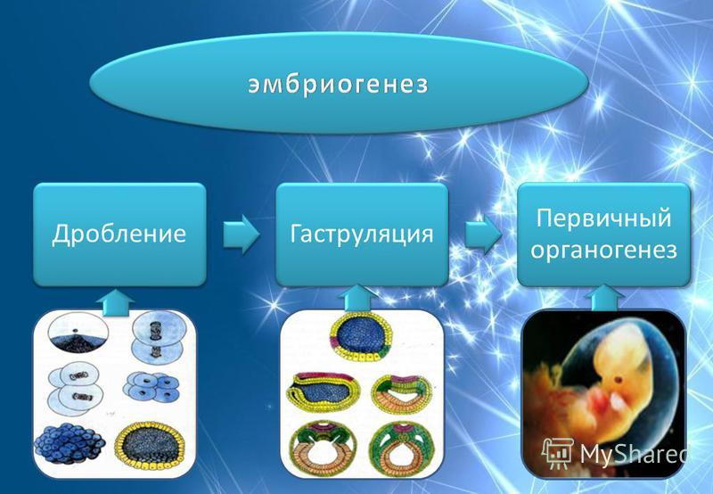 Дробление Гаструляция Первичный органогенез