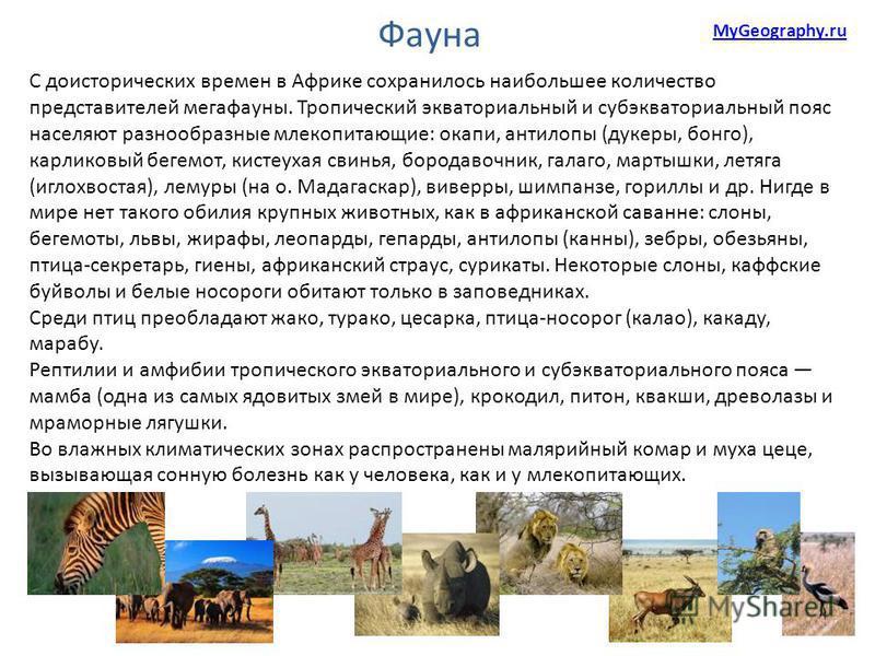 С доисторических времен в Африке сохранилось наибольшее количество представителей мегафауны. Тропический экваториальный и субэкваториальный пояс населяют разнообразные млекопитающие: окапи, антилопы (дукеры, бонго), карликовый бегемот, кистеухая свин