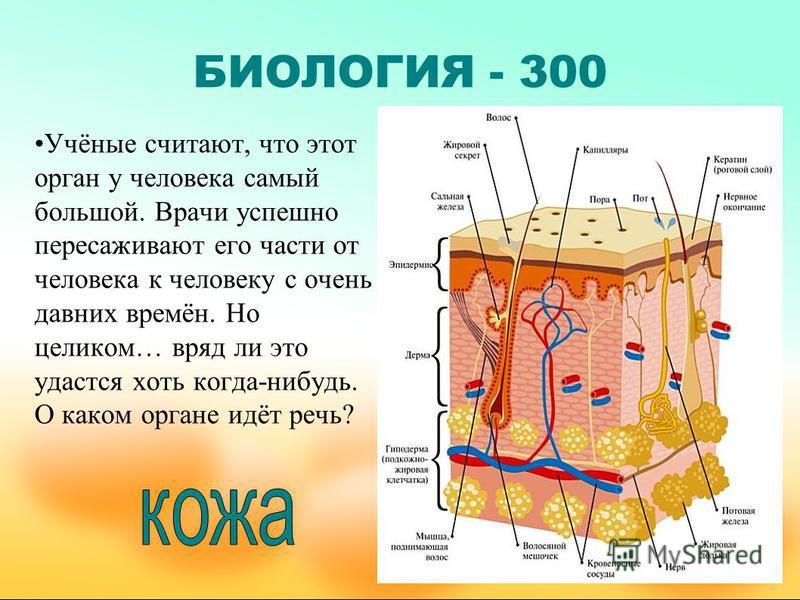 БИОЛОГИЯ - 300 Учёные считают, что этот орган у человека самый большой. Врачи успешно пересаживают его части от человека к человеку с очень давних времён. Но целиком… вряд ли это удастся хоть когда-нибудь. О каком органе идёт речь?