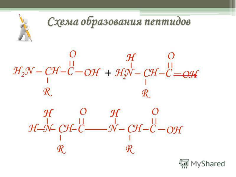 Схема образования пептидов H2NH2NCH R C OH O H 2 CH N R C O H + H N R C O H OH CH N R C O H