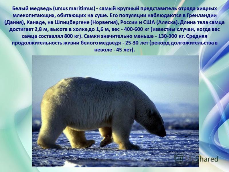 Белый медведь (ursus maritimus) - самый крупный представитель отряда хищных млекопитающих, обитающих на суше. Его популяции наблюдаются в Гренландии (Дания), Канаде, на Шпицбергене (Норвегия), России и США (Аляска). Длина тела самца достигает 2,8 м,