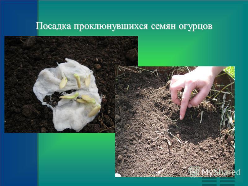 Посадка проклюнувшихся семян огурцов