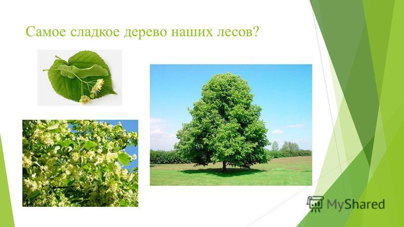 Самое сладкое дерево наших лесов?