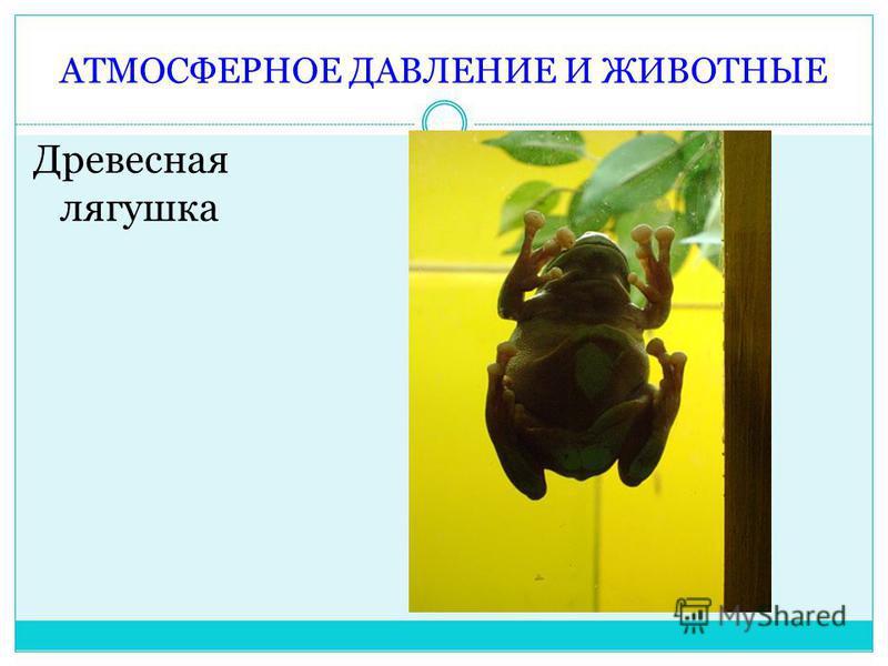 АТМОСФЕРНОЕ ДАВЛЕНИЕ И ЖИВОТНЫЕ Древесная лягушка