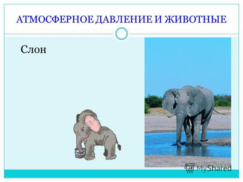 АТМОСФЕРНОЕ ДАВЛЕНИЕ И ЖИВОТНЫЕ Слон