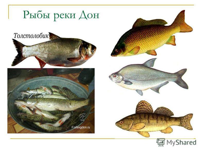 Рыбы реки Дон