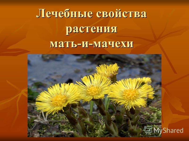 Лечебные свойства растения мать-и-мачехи