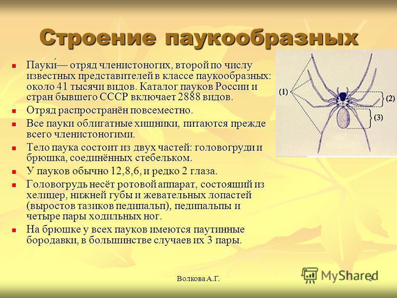 Волкова А.Г.3 Строение паукообразных Пауки́ отряд членистоногих, второй по числу известных представителей в классе паукообразных: около 41 тысячи видов. Каталог пауков России и стран бывшего СССР включает 2888 видов. Пауки́ отряд членистоногих, второ