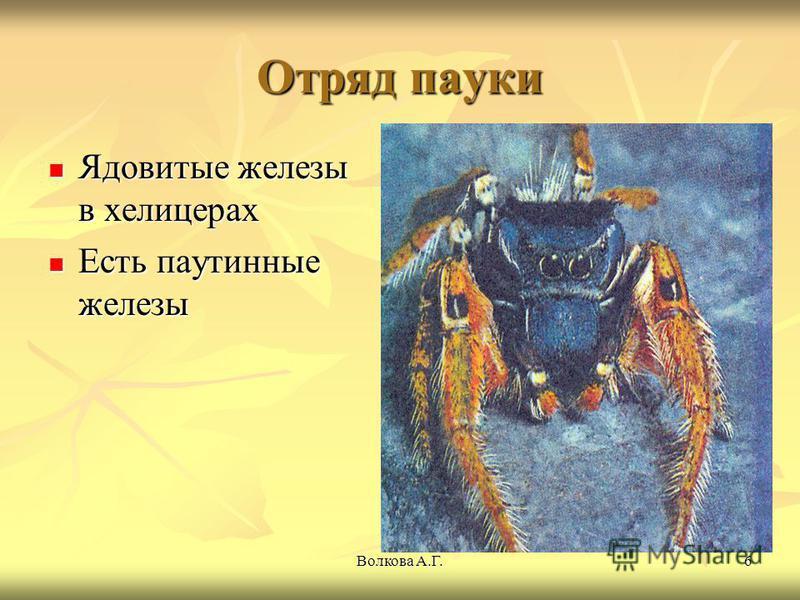 Волкова А.Г.6 Отряд пауки Ядовитые железы в хелицерах Ядовитые железы в хелицерах Есть паутинные железы Есть паутинные железы