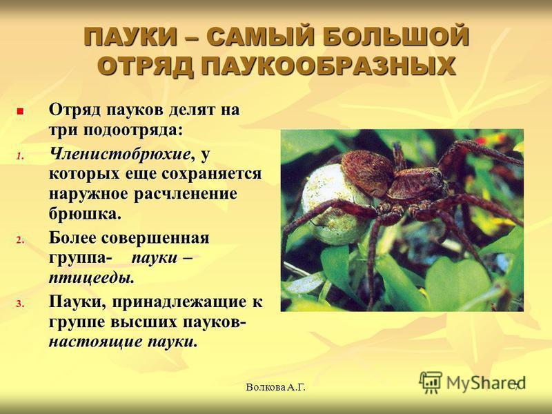 Волкова А.Г.7 ПАУКИ – САМЫЙ БОЛЬШОЙ ОТРЯД ПАУКООБРАЗНЫХ Отряд пауков делят на три подотряда: Отряд пауков делят на три подотряда: 1. Членистобрюхие, у которых еще сохраняется наружное расчленение брюшка. 2. Более совершенная группа- пауки – птицееды.