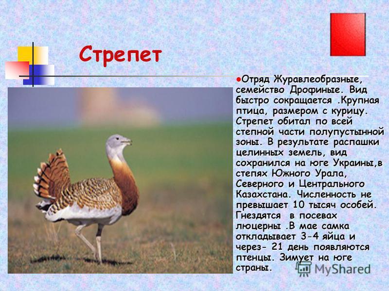 Стрепет Отряд Журавлеобразные, семейство Дрофиные. Вид быстро сокращается.Крупная птица, размером с курицу. Стрепет обитал по всей степной части полупустынной зоны. В результате распашки целинных земель, вид сохранился на юге Украины,в степях Южного