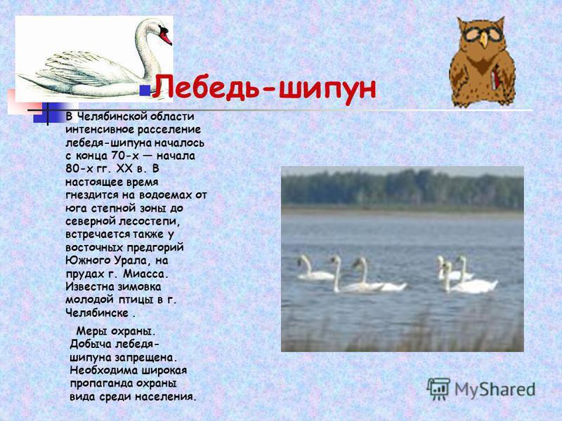 Лебедь-шипун В Челябинской области интенсивное расселение лебедя-шипуна началось с конца 70-х начала 80-х гг. XX в. В настоящее время гнездится на водоемах от юга степной зоны до северной лесостепи, встречается также у восточных предгорий Южного Урал