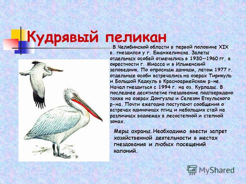 В Челябинской области в первой половине XIX в. гнездился у г. Еманжелинска. Залеты отдельных особей отмечались в 19301960 гг. в окрестности г. Миасса и в Ильменский заповедник. По опросным данным, летом 1977 г. отдельные особи встречались на озерах Т