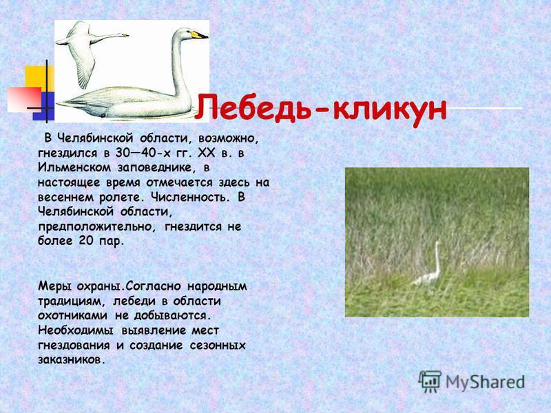 Лебедь-кликун В Челябинской области, возможно, гнездился в 3040-х гг. XX в. в Ильменском заповеднике, в настоящее время отмечается здесь на весеннем ролете. Численность. В Челябинской области, предположительно, гнездится не более 20 пар. Меры охраны.