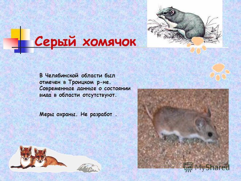 Серый хомячок. В Челябинской области был отмечен в Троицком р-не. Современные данные о состоянии вида в области отсутствуют. Меры охраны. Не разработ.
