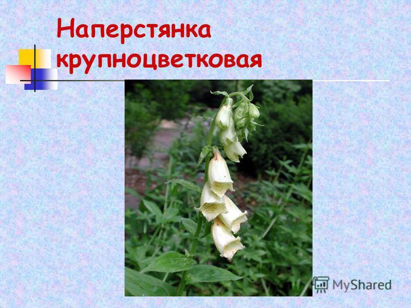 Наперстянка крупноцветковая