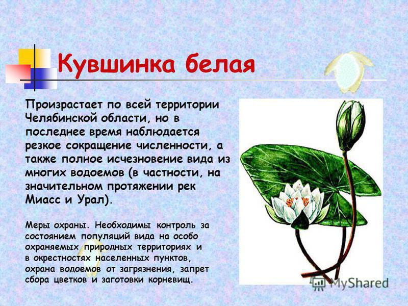 Кувшинка белая Произрастает по всей территории Челябинской области, но в последнее время наблюдается резкое сокращение численности, а также полное исчезновение вида из многих водоемов (в частности, на значительном протяжении рек Миасс и Урал). Меры о