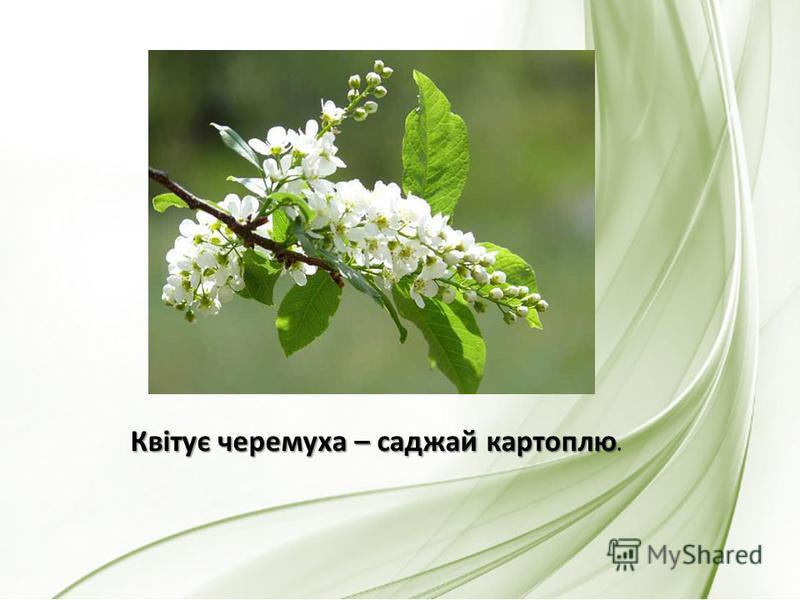 Квітує черемуха – саджай картоплю Квітує черемуха – саджай картоплю.
