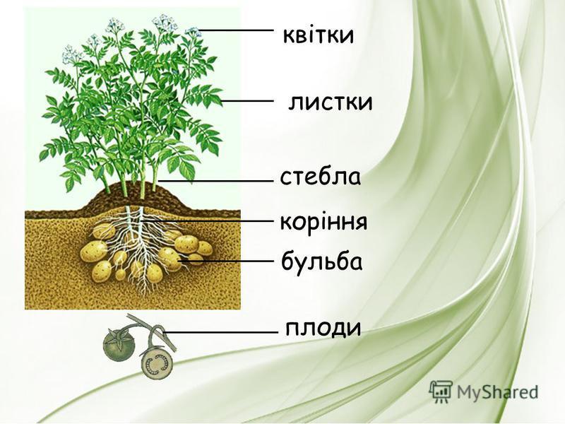 листки стебла коріння бульба квітки плоди
